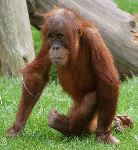 Baby Orangutan Walking