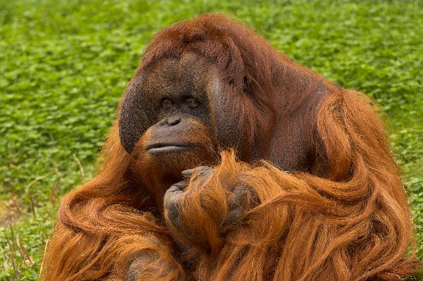 Bornean Orangutan With Very Long Hair