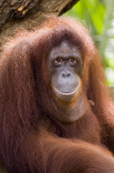 Close Up Portrait Of Female Orangutan