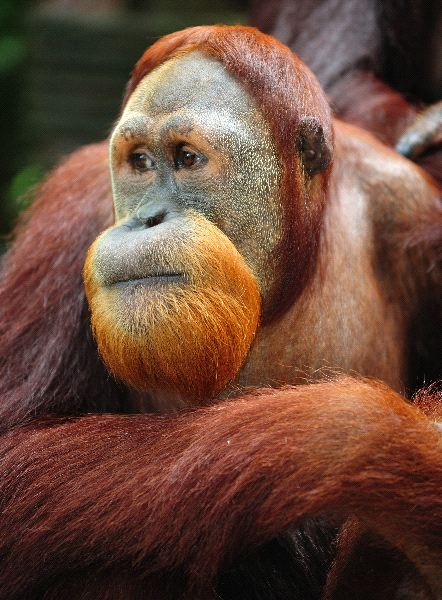Close_Up_a_un_Orangutan_600