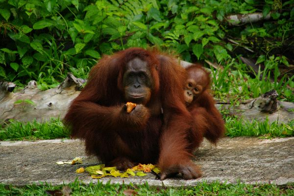 Orangutan Mother And Infant Eating