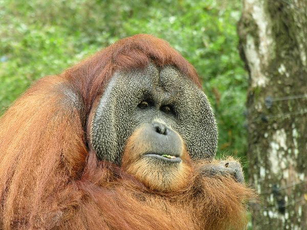Wild Orangutan In Tropical Rainforest