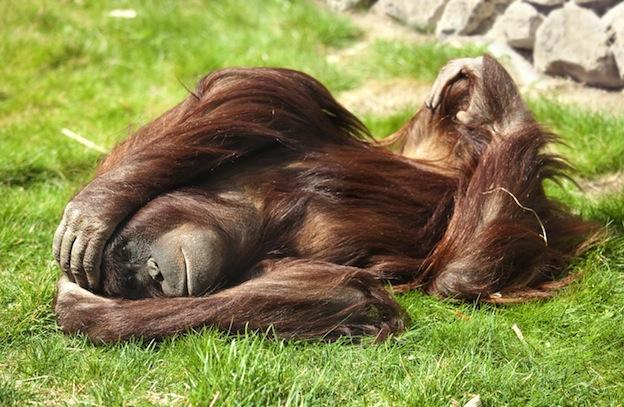 Vocalizaciones de los orangutanes.
