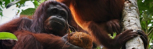 Orangutan Conservation Efforts