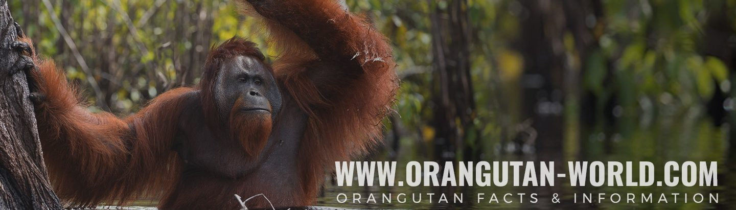 Orangutan-world.com