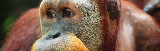 Orangutans In Culture - Orangutan-World.com