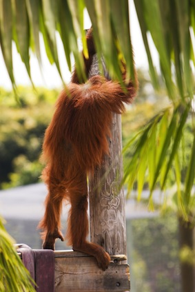 Top facts about orangutans