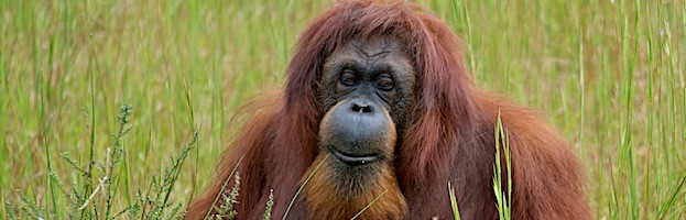 an overview of the lifestyle and habitat of the orangutan Orangutans: species, characteristics, behavior the life expectancy of orangutans in the wild is not known facts & overview wolves: habitat, characteristics, behaviors frogs: species & overview tags: behavior characteristics orangutans species.