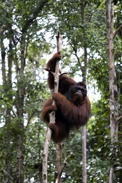 Where do live Orangutans?