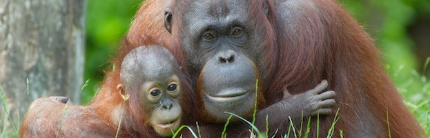 Orangutan Reproduction